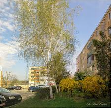 Photo: Mesteceni (Betula) - din Turda, pe Calea Victoriei, Nr.19, spatiu verde - 2019.04.09