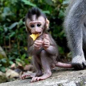 Monkey Business by Julie Steele - Animals Other Mammals ( baby monkey, bali, pwcbabyanimals, big eyes, cute )