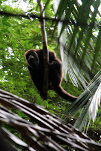 Photo: Apina sademetsän siimeksessä (ihan vapaana tämä apina siis)