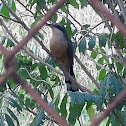 Mangrove cuckoo/ Pájaro bobo menor