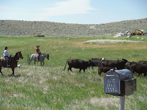 Photo: Day 19 Dubois to Riverton WY 79 miles 1410' climbing: Ranchers moving cattle in Wyoming