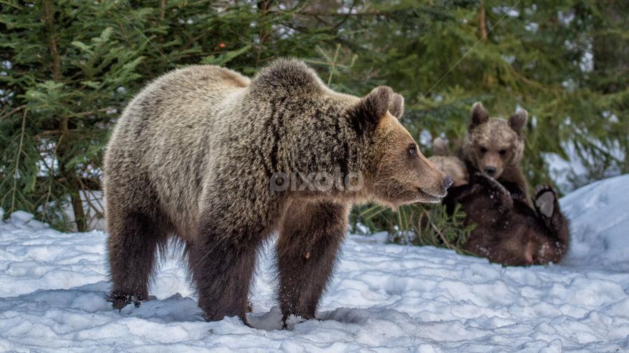 Brown Bear, Croatia by Stanislav Horacek - Landscapes Forests