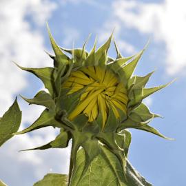 Sunflower Bud by Teresa Wooles - Flowers Flower Buds