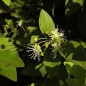 Wild caper bush
