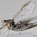 Small Minnow Mayfly