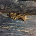 Southern Mole Cricket