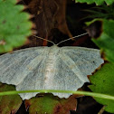 Common White Wave Moth?