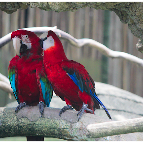 Love Birds by Arunkumar Boyidapu - Animals Birds ( love, red, parrots, birds, singapore,  )