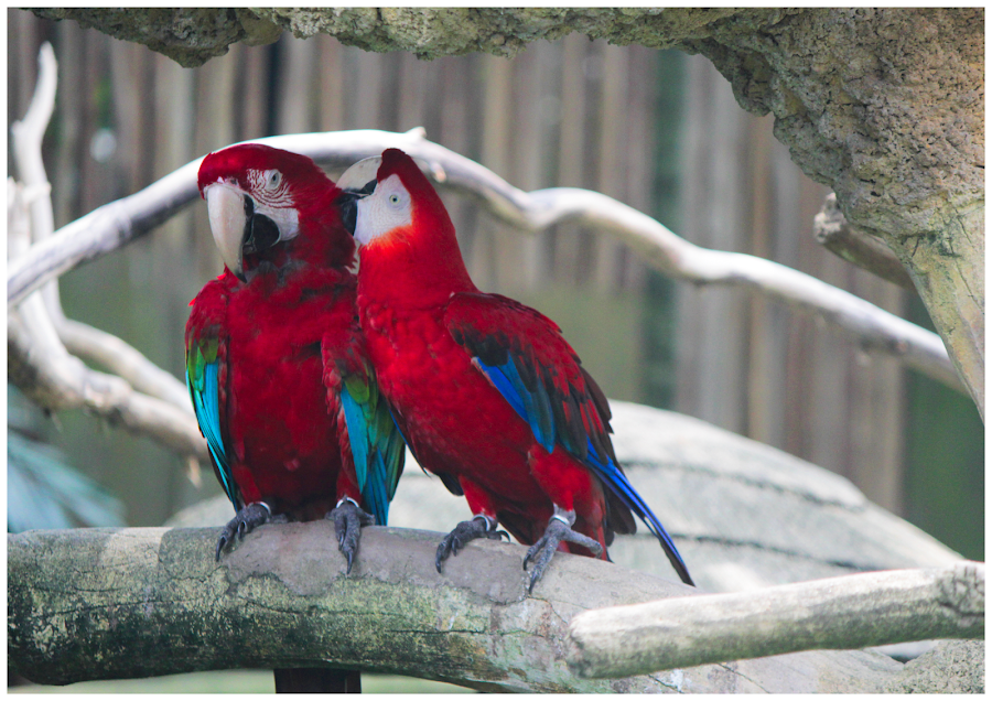 Love Birds by Arunkumar Boyidapu - Animals Birds ( love, red, parrots, birds, singapore,  )