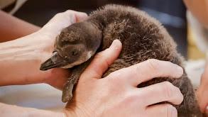 Penguin Chick Swim School thumbnail