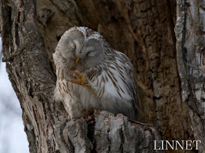 Photo: エゾフクロウ  ( Ural Owl )