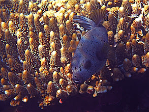 Photo: black-spotted pufferfish