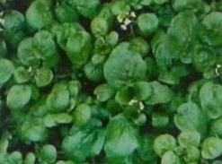 WATERCRESS. Snip crisp watercress finely with kitchen shears. Add slivered toasted almonds, and fold into a...