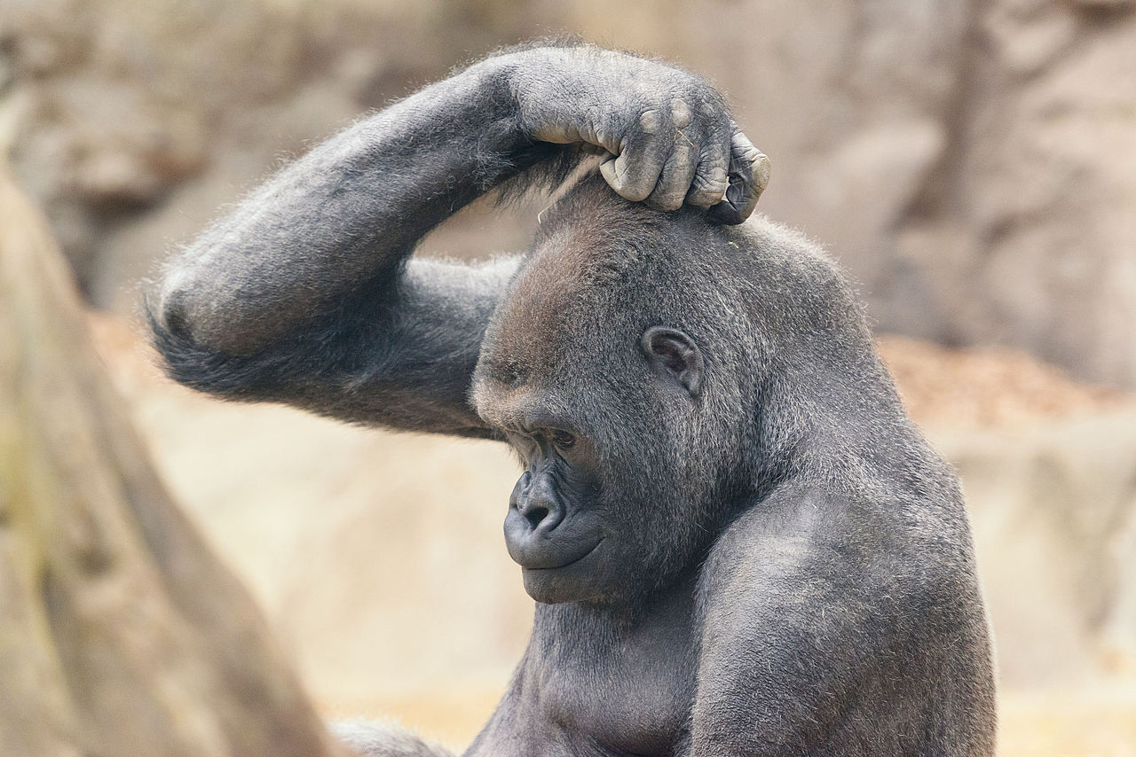 File:Gorilla Scratching Head (18047130741).jpg - Wikimedia Commons