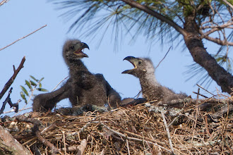 Photo: Pearland Bald Eagles 2013
