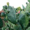 Unknown Cactus
