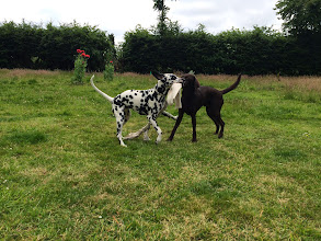 Photo: Rupert Lab and Molly Dalmation