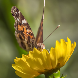 Looking Over The Edge by Janice Mcgregor - Animals Insects & Spiders ( canon, wild flower, butterfly, macro photography, petals, canon sl1, insect, bokeh, spring, macro, nature, outdoors, summer, canon photography, nature photography, flower, outside,  )