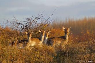 Photo: Nederland - Natuur - Damherten Foto: Laurend de Haas
