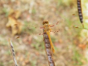 """Photo: Libellule """"Sympetrum meridionale"""" parasitée par des hydracariens """"Arrenurus papillator"""" (les minuscules boules rouges sur les nervures) _ Juillet - Jardin -"""