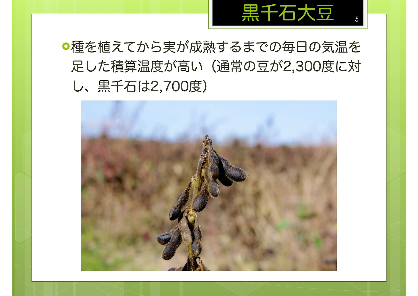 積算温度が高い黒千石大豆