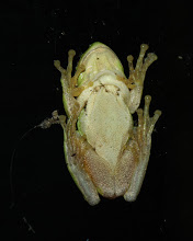 Photo: Hyla meridionalis
