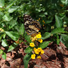 Bordered patch butterfly (brush foot)