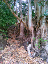 Photo: Bay trees also compete well for space under the thin eucalyptus canopy.