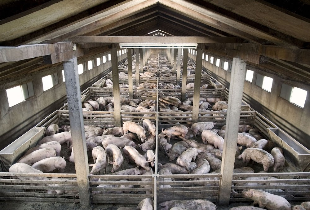 China urgently needs more pork as African swine fever reshapes meat markets