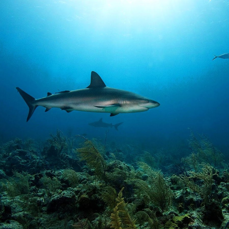 live shark wallpaper - photo #9