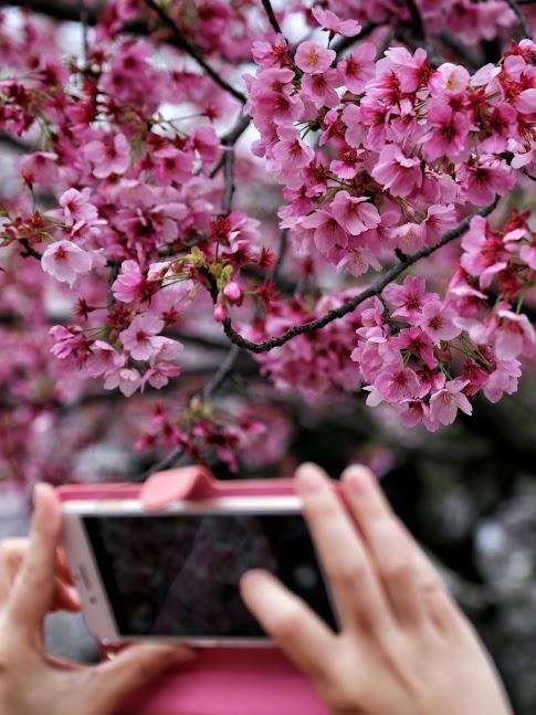 Sakura w parku Ueno