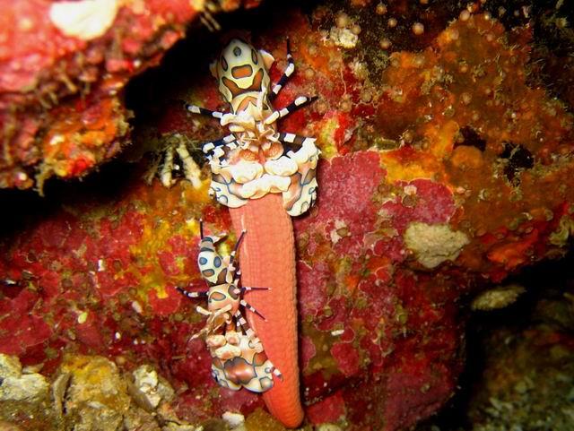 Photo: Crevettes Arlequin aux Mergui