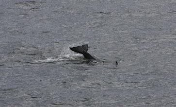 Photo: Orca von der Fähre aus