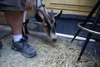 Photo: Peggy the Goat at Bar