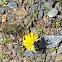 Common Dandelion