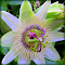 Passion Flower 8-1-2015 3-58-40 AM.JPG
