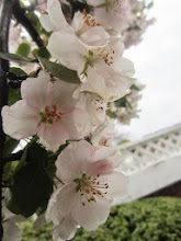 Photo: White and pink apple blossoms at Eastwood Park in Dayton, Ohio.