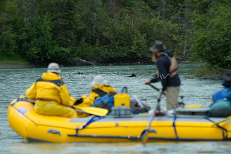 """Photo: People watch a Grey Wolf pups launch into river as seen while on a 10 day raft trip down the Tashenshini River. The """"Tat"""" flows out of Yukon, CA, through British Columbia and empties into Glacier Bay National Park in Alaska, US."""