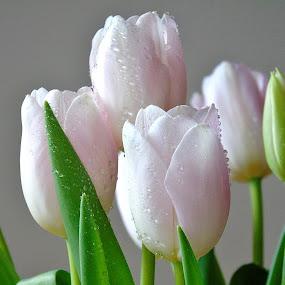 SPRING TULIPS by Wojtylak Maria - Flowers Flower Arangements ( bouquet, arrangement, light pink, tulips, waterdrops, flowers, spring,  )