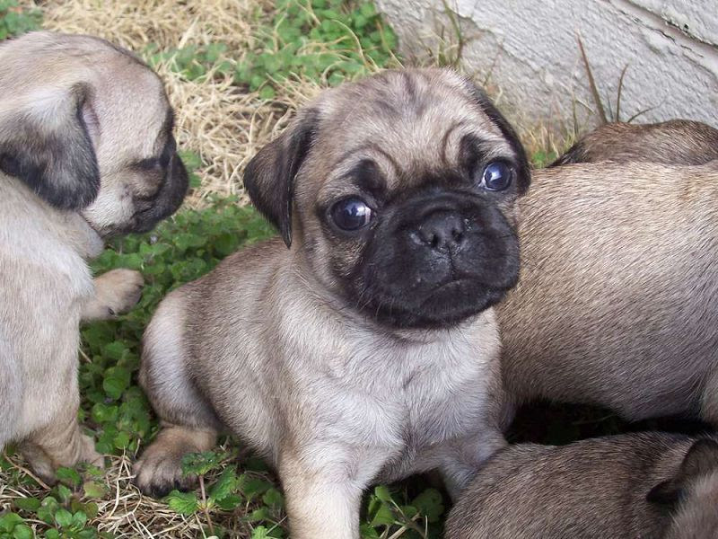 Pug dog price range & Pug puppies cost. How much are pug puppies?