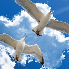 Seagulls by Alex Alex - Animals Birds ( seagulls, birds )