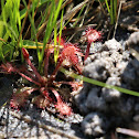 Red Sundews