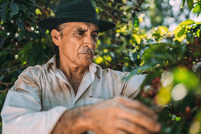 Senhor colhendo fruto da árvore