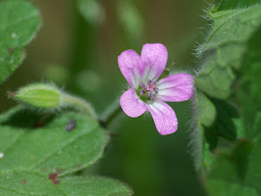 Photo: Geranium rotundifolium