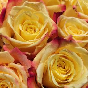 Kissed Roses by Ashley Ellis - Flowers Flower Arangements ( rose, red edges, yellow, flowers, kissed )