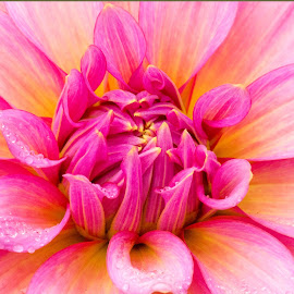 2259dahlia 4x6 by Kathy Eder - Flowers Single Flower