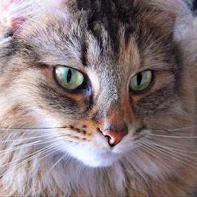 by Sheila Marques - Animals - Cats Portraits