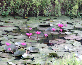 Photo: Year 2 Day 47 - Water Lillies