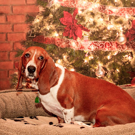 Christmas Hound by Debbie Quick - Public Holidays Christmas ( debbie quick, hound, dog, christmas, holiday, debs creative images, pet )