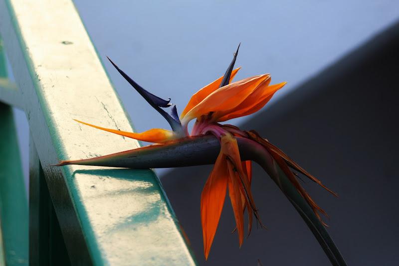 fiore curioso di simi1967